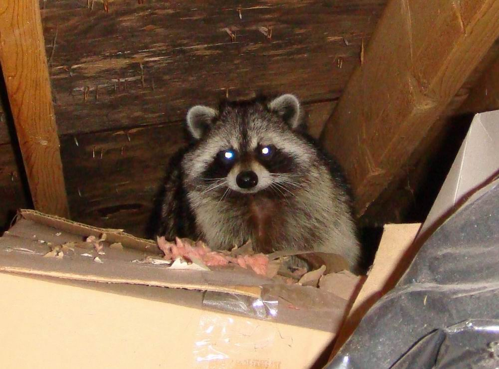 Racoon Feces removal Vancouver